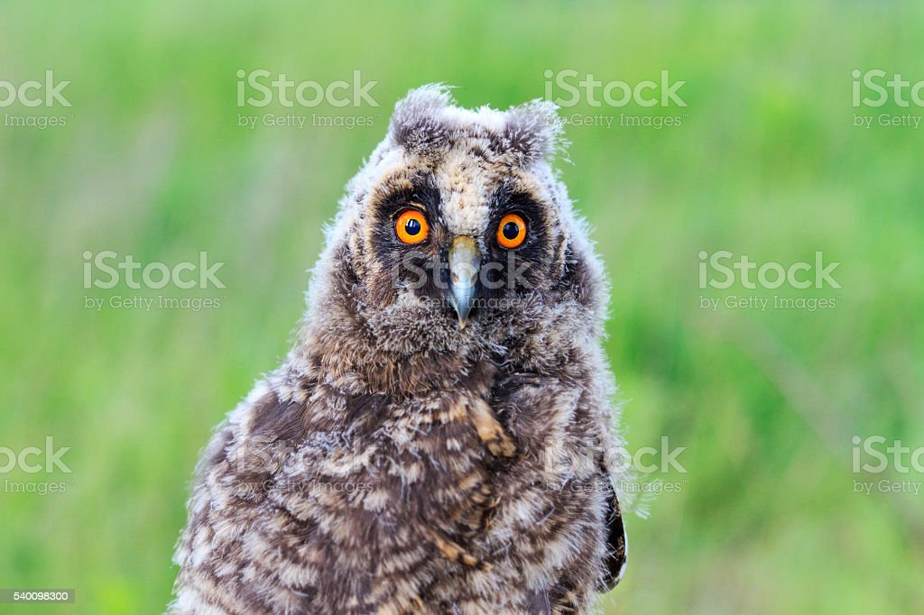 Portrait of baby owls stock photo