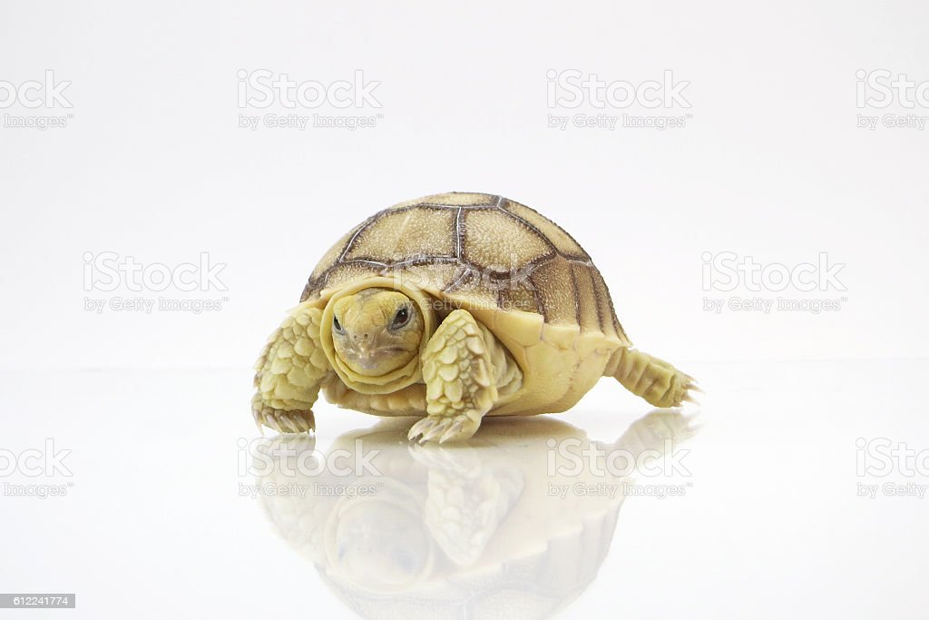 Portrait of baby tortoise hatching (Africa spurred tortoise) stock photo