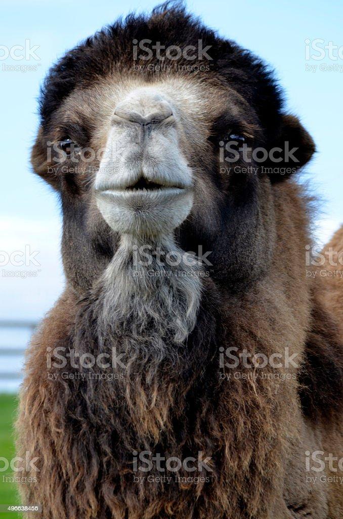 Portrait of Bactrian Camel in Field stock photo