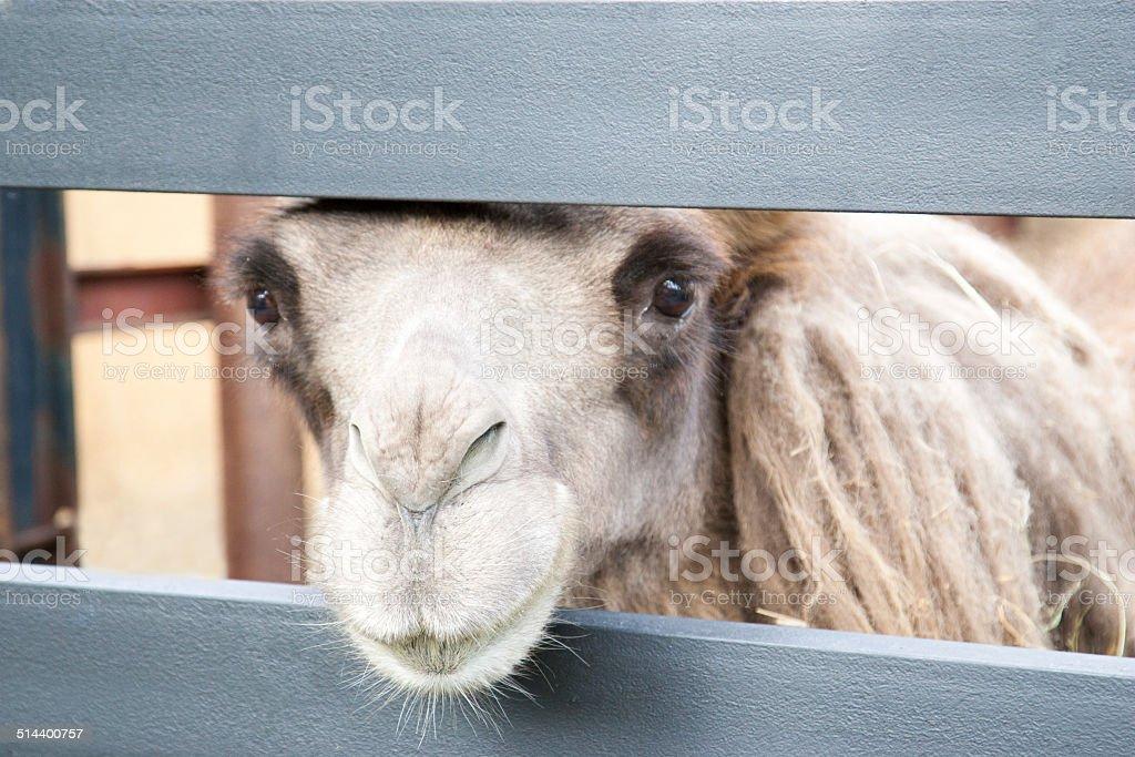 Portrait of bactrian camel stock photo