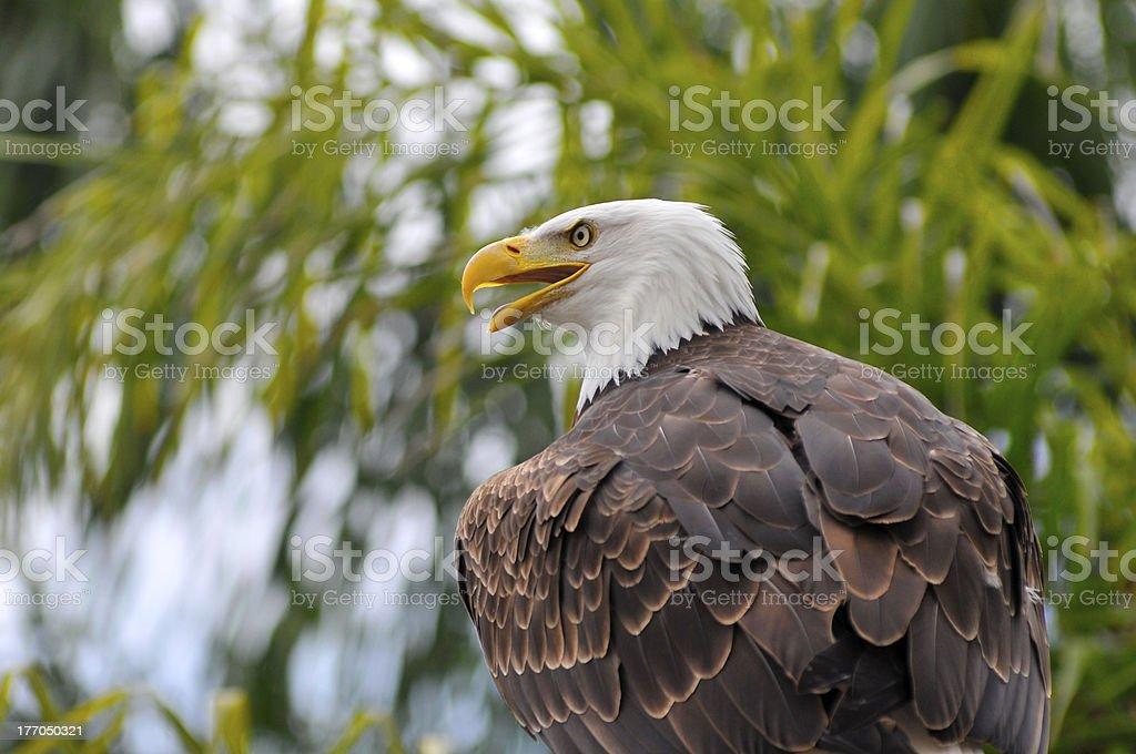 Portrait of bald eagle royalty-free stock photo
