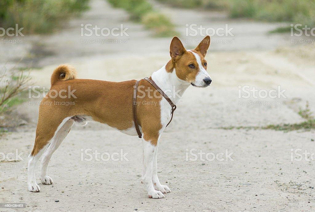 Portrait of Basenji dog stock photo