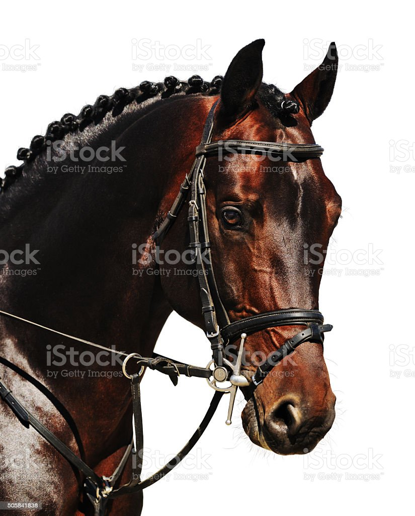 Portrait of bay horse isolated stock photo