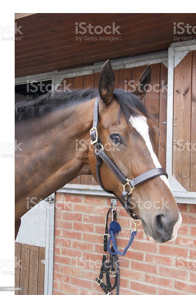 Portrait of bay thoroughbred horse royalty-free stock photo