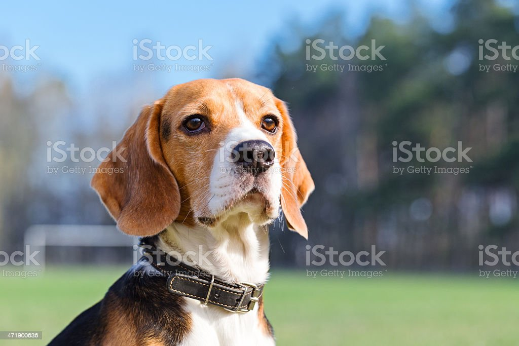 Portrait of Beagle close-up. stock photo