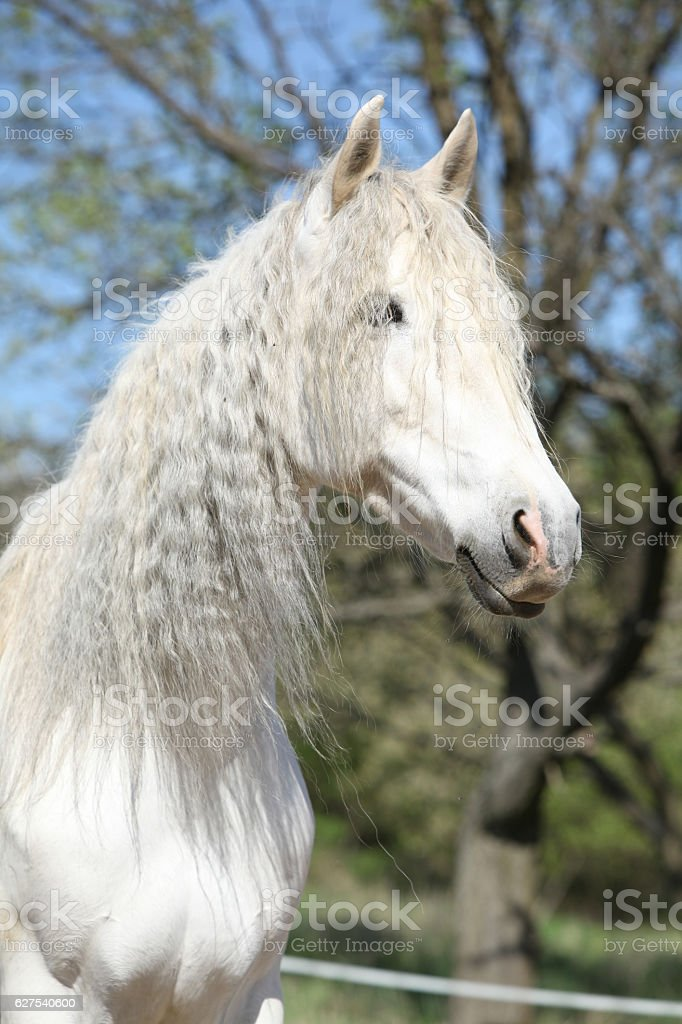 Portrait of beautiful andalusian mare in spring stock photo