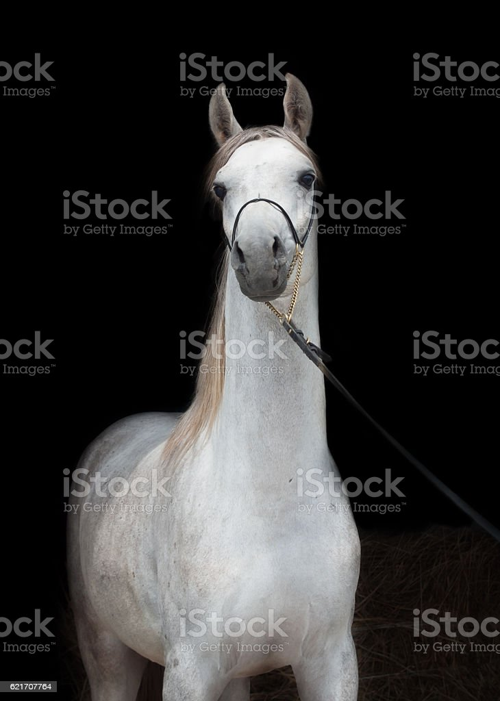 portrait of beautiful arabian white colt at black background stock photo