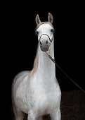 portrait of beautiful arabian white colt at black background