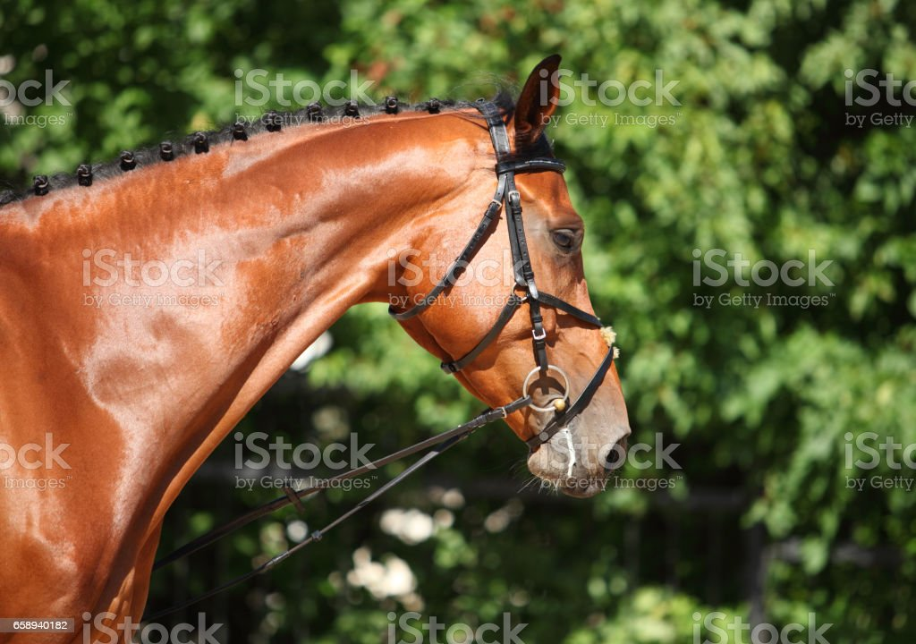 Portrait of beautiful bay dressage horse stock photo