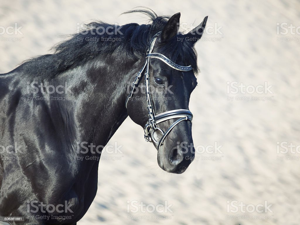 Portrait of beautiful black horse in the desert in movement stock photo
