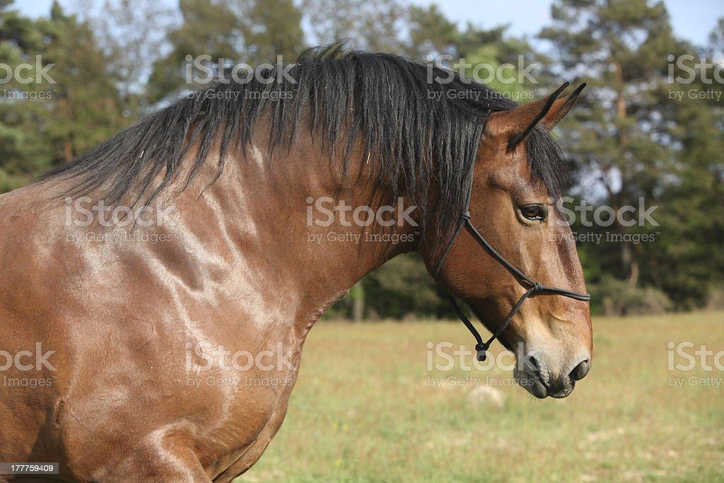 Portrait of beautiful draft horse royalty-free stock photo