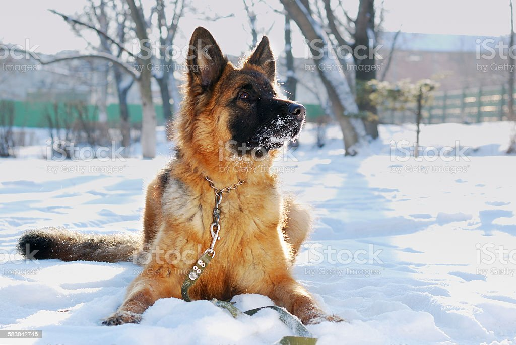 Portrait of beautiful fluffy German shepherd dog Junior puppy in stock photo
