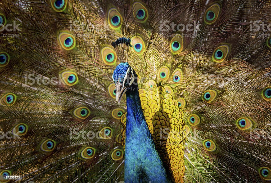 Portrait of beautiful peacock royalty-free stock photo