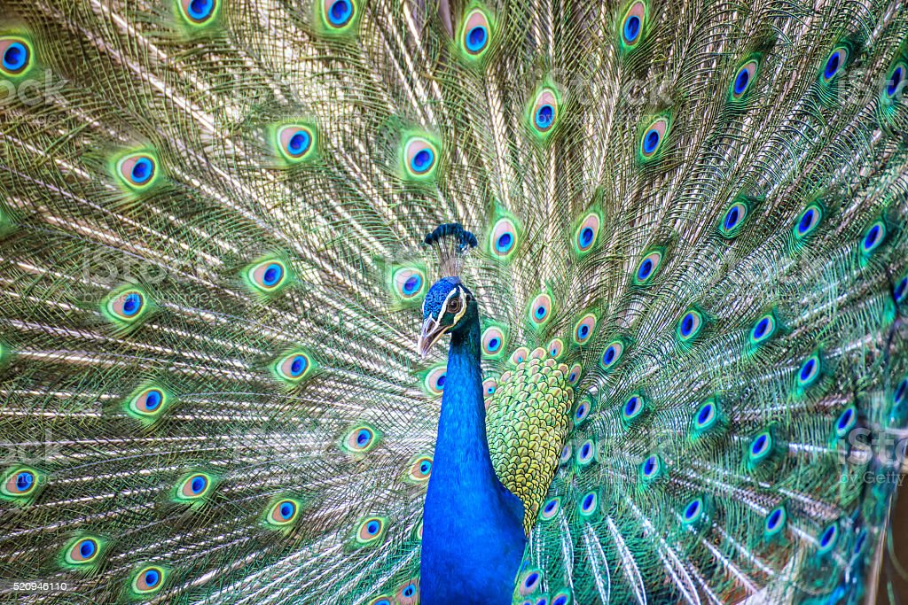 Portrait of beautiful peacock with it feathers out stock photo