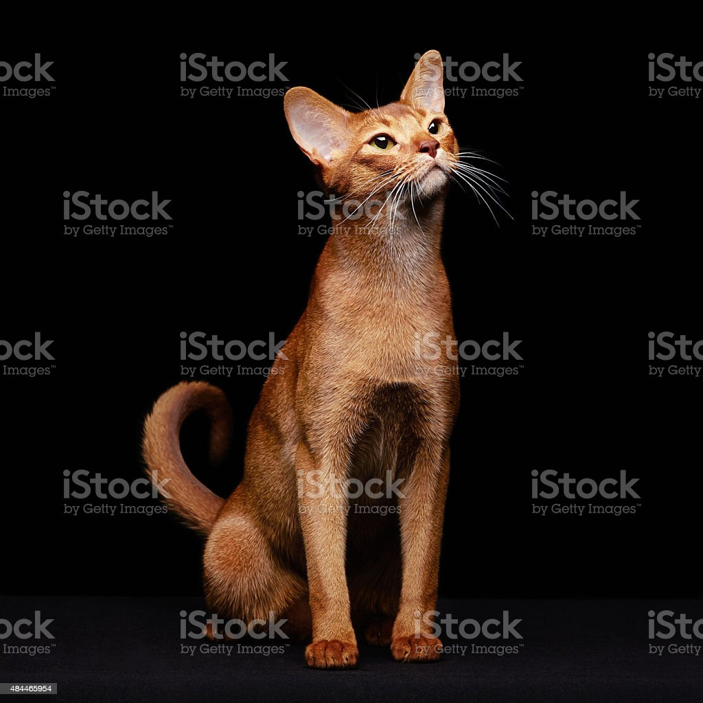 Portrait of beautiful young abyssinian cat stock photo