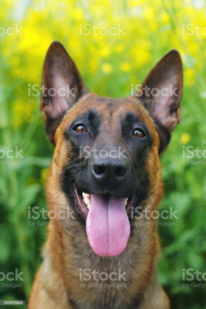 Portrait of Belgian Shepherd dog Malinois sitting in rapeseed field stock photo