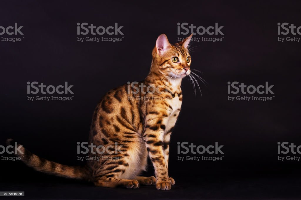 Portrait of bengal cat stock photo
