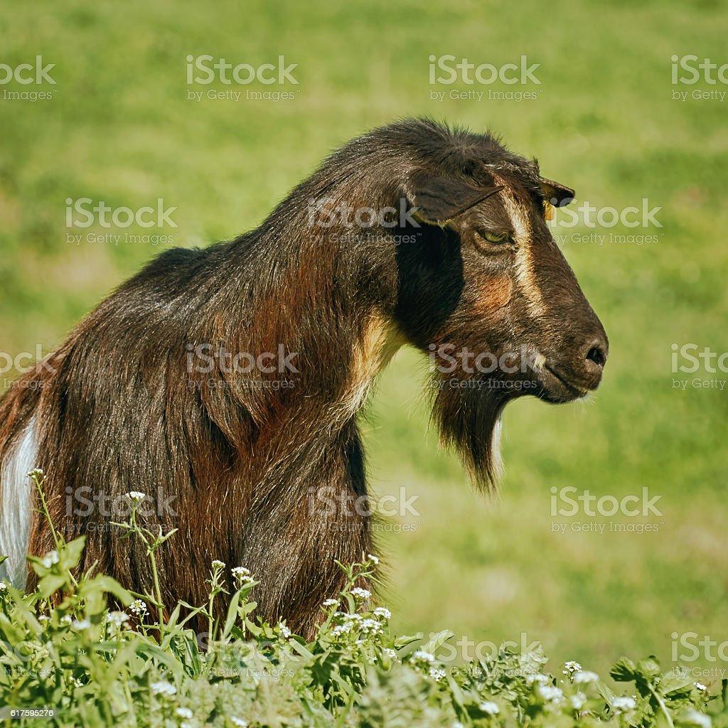 Portrait of Billy Goat stock photo