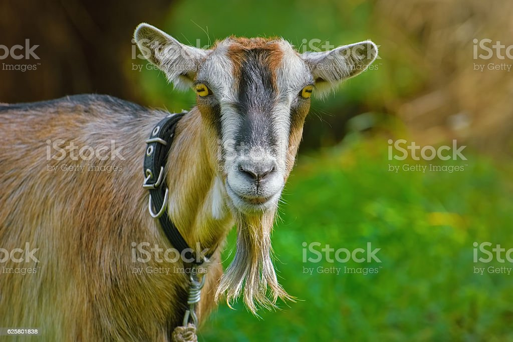 Portrait of Billy Goat stock photo