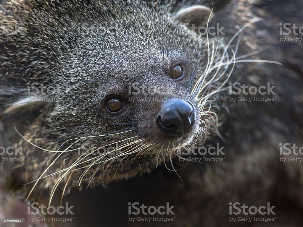 Portrait of binturong or bearcat stock photo
