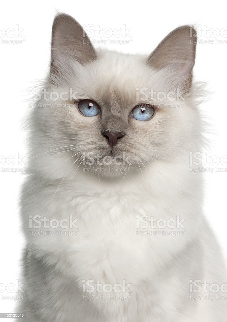 Portrait of Birman cat, 5 months old stock photo