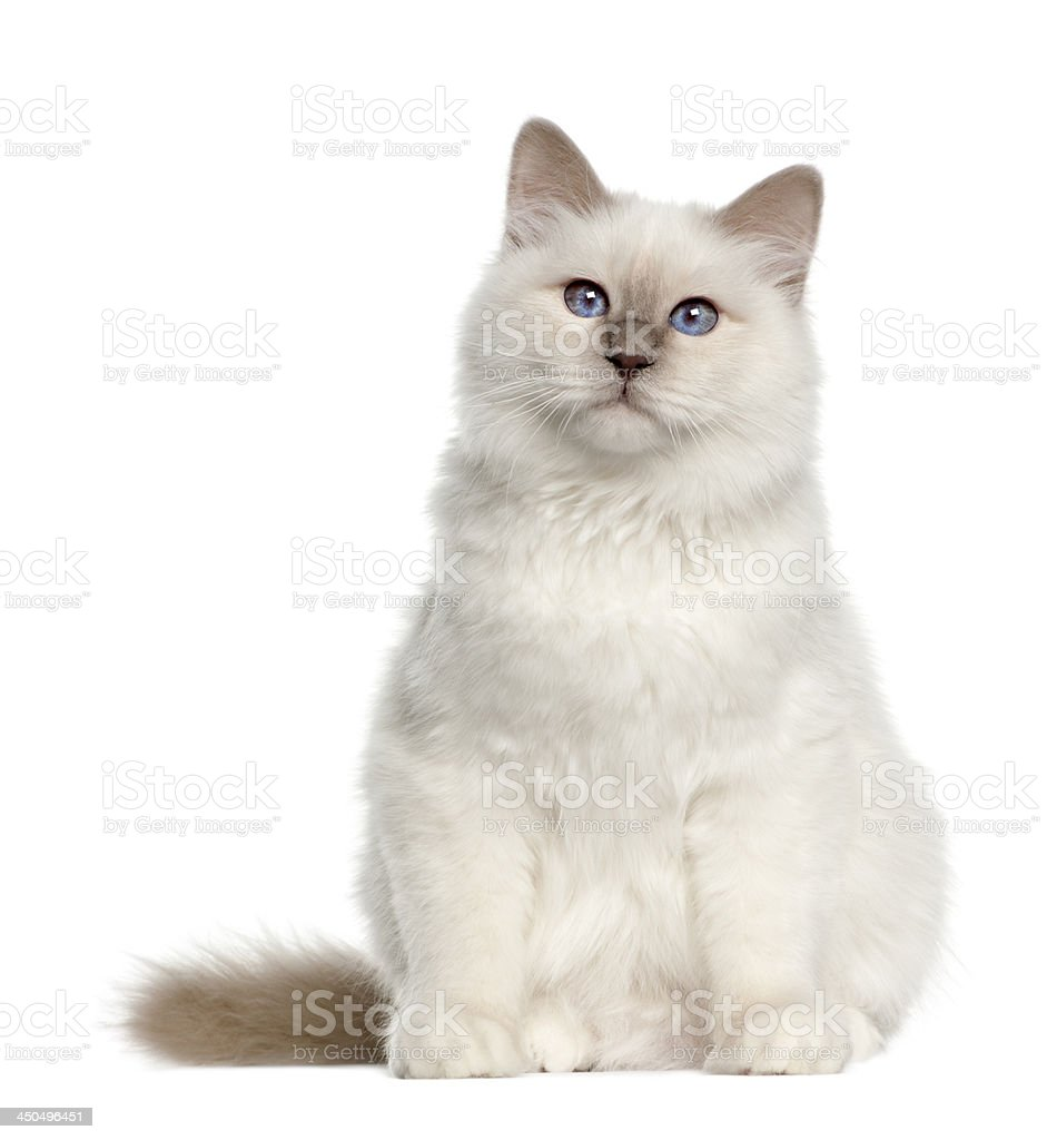 Portrait of Birman cat, 6 months old stock photo