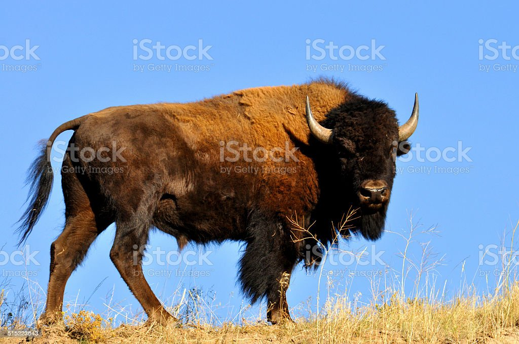 Portrait of Bison against a clear blue sky. stock photo