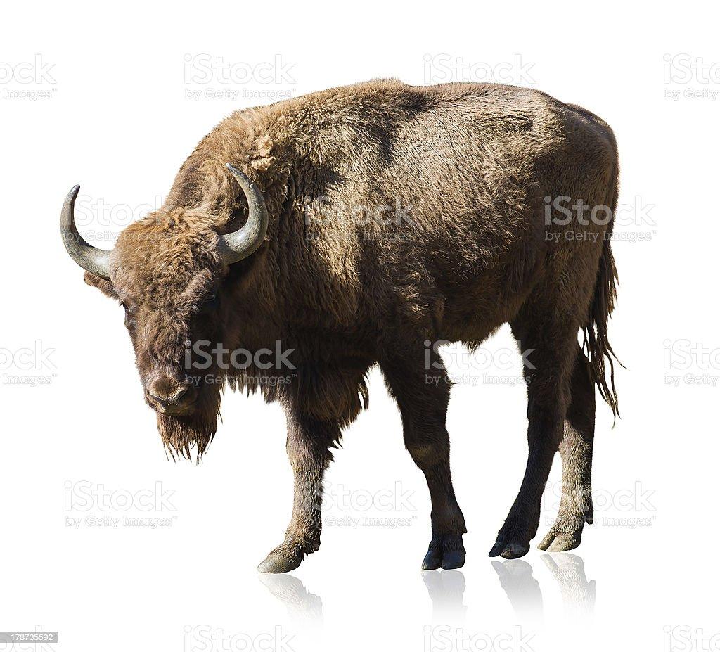 Portrait Of Bison stock photo