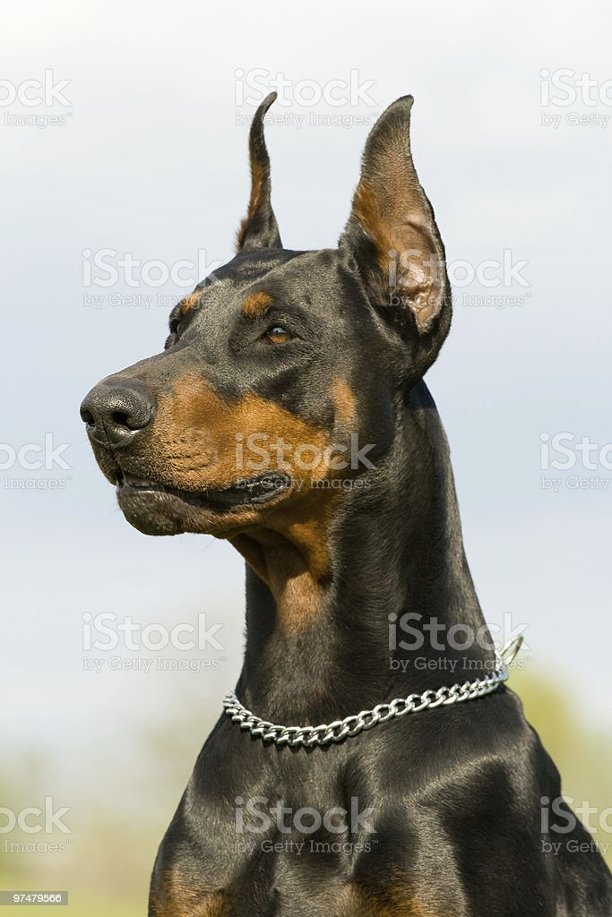 Portrait of black Doberman waiting stock photo