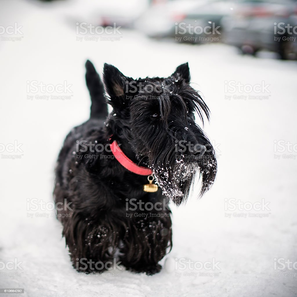 Portrait of black dog in winter stock photo