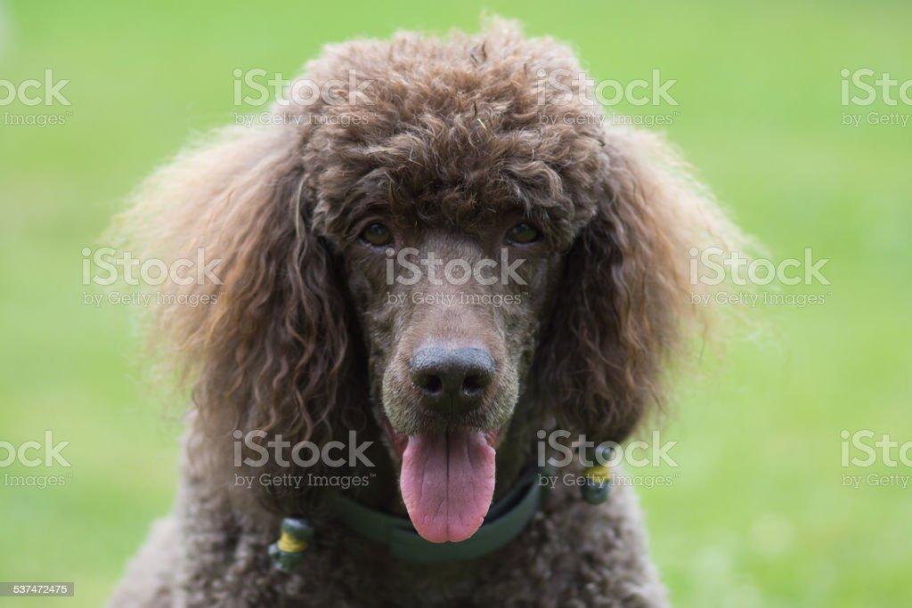Portrait of black dog Royal poodle stock photo