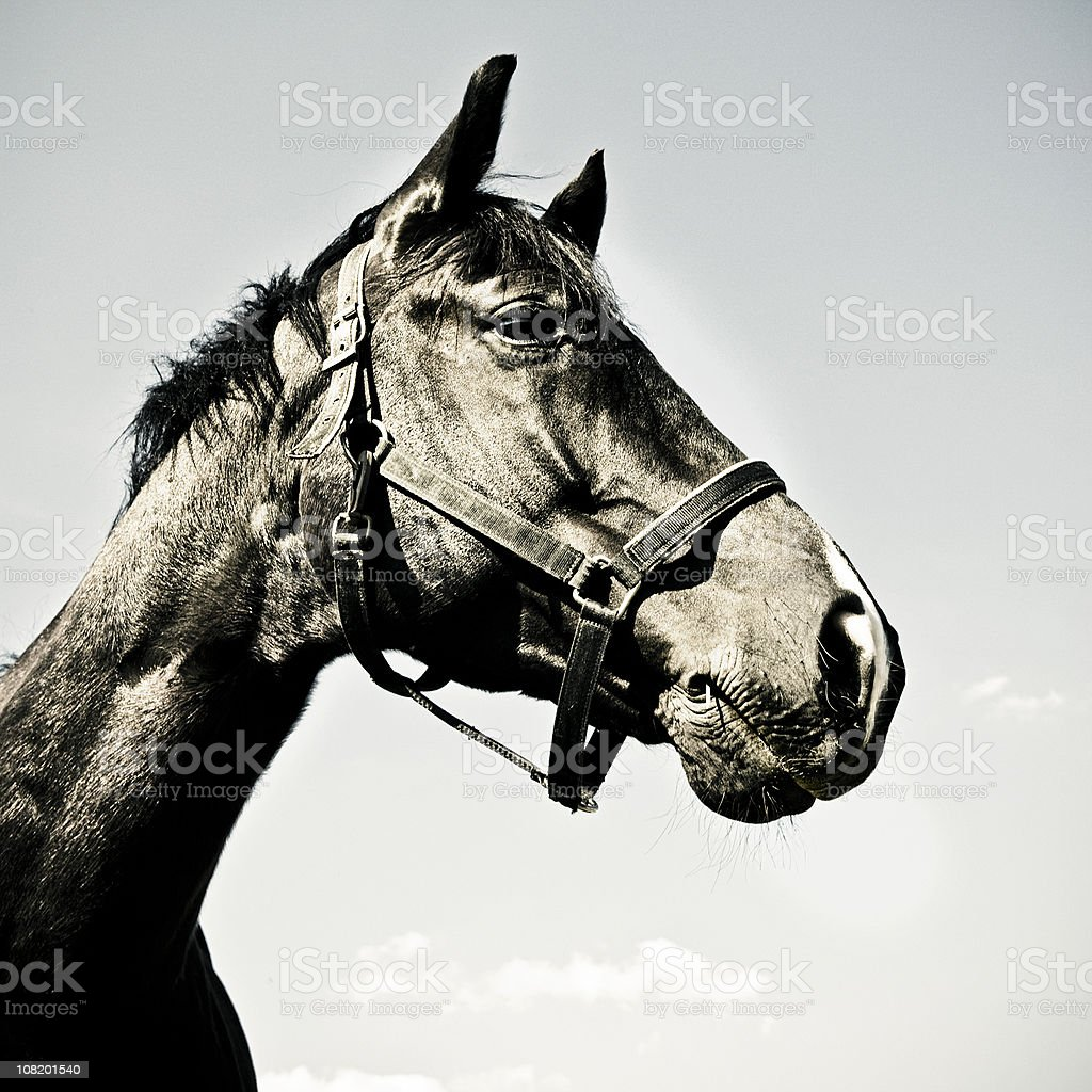 Portrait of Black Horse royalty-free stock photo