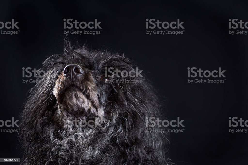 Portrait of black male Portuguese water dog stock photo