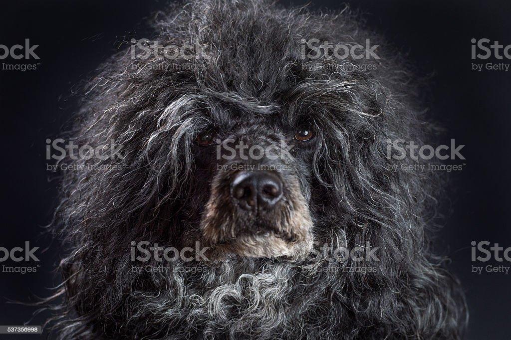 Portrait of black male Portuguese water dog stock photo