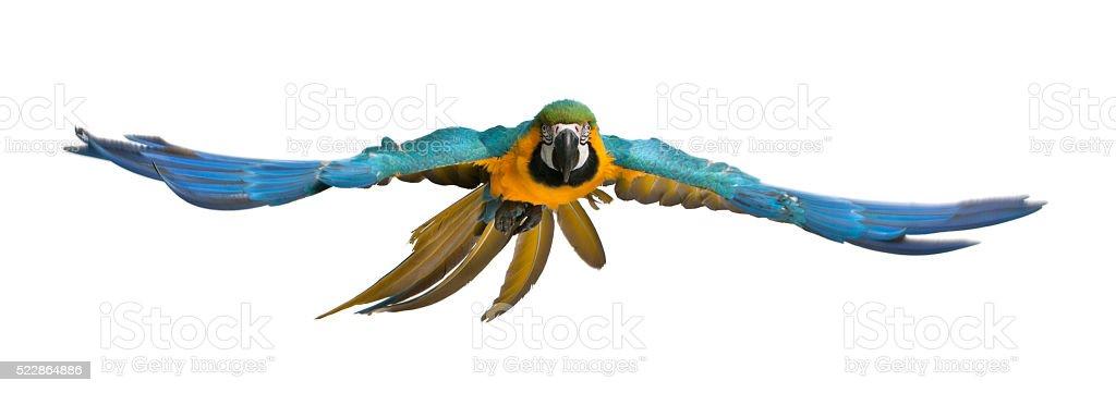 Portrait of Blue and Yellow Macaw, Ara Ararauna, flying stock photo