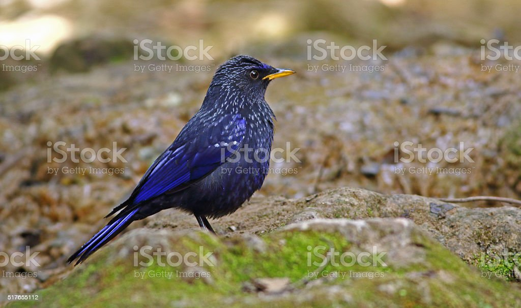 Portrait of Blue whistling-Thrush stock photo
