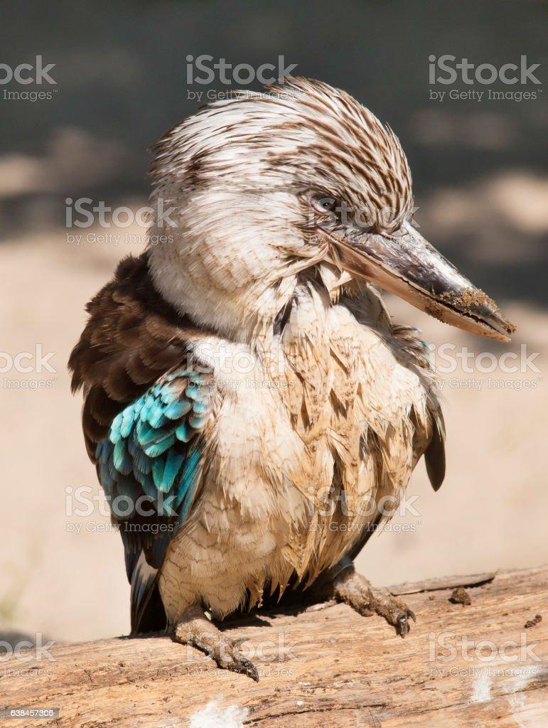 Portrait of blue winged kookaburra kingfisher - Dacelo leachii stock photo