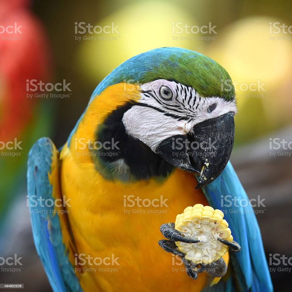Portrait of blue-and-gold macaw stock photo
