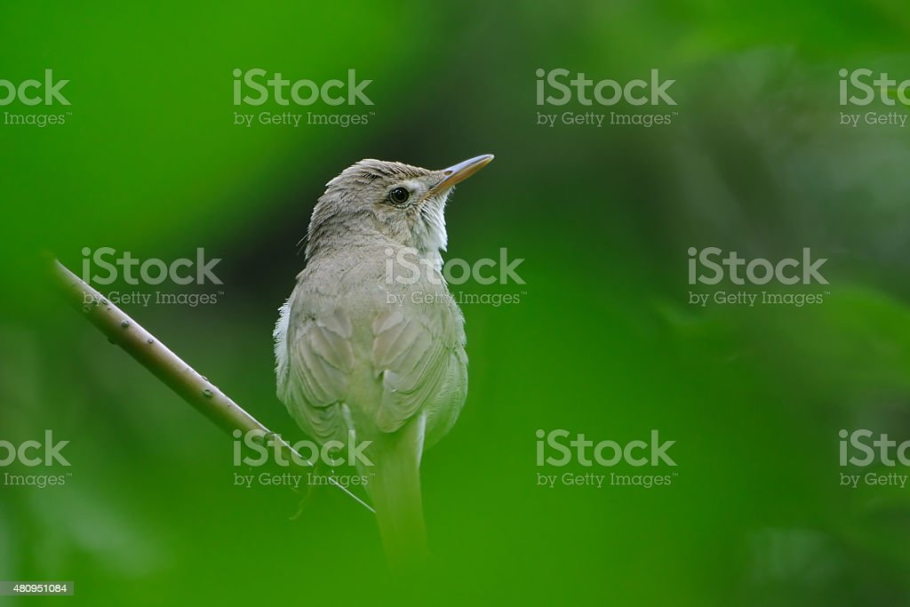 Portrait of Blyth's reed warbler in green stock photo