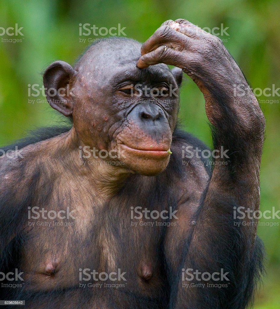 Portrait of bonobos stock photo