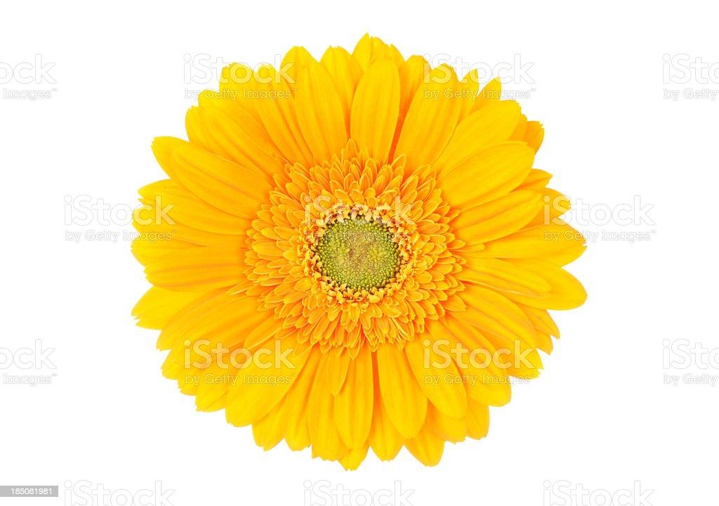 Portrait of bright yellow Gerbera daisy on white background stock photo