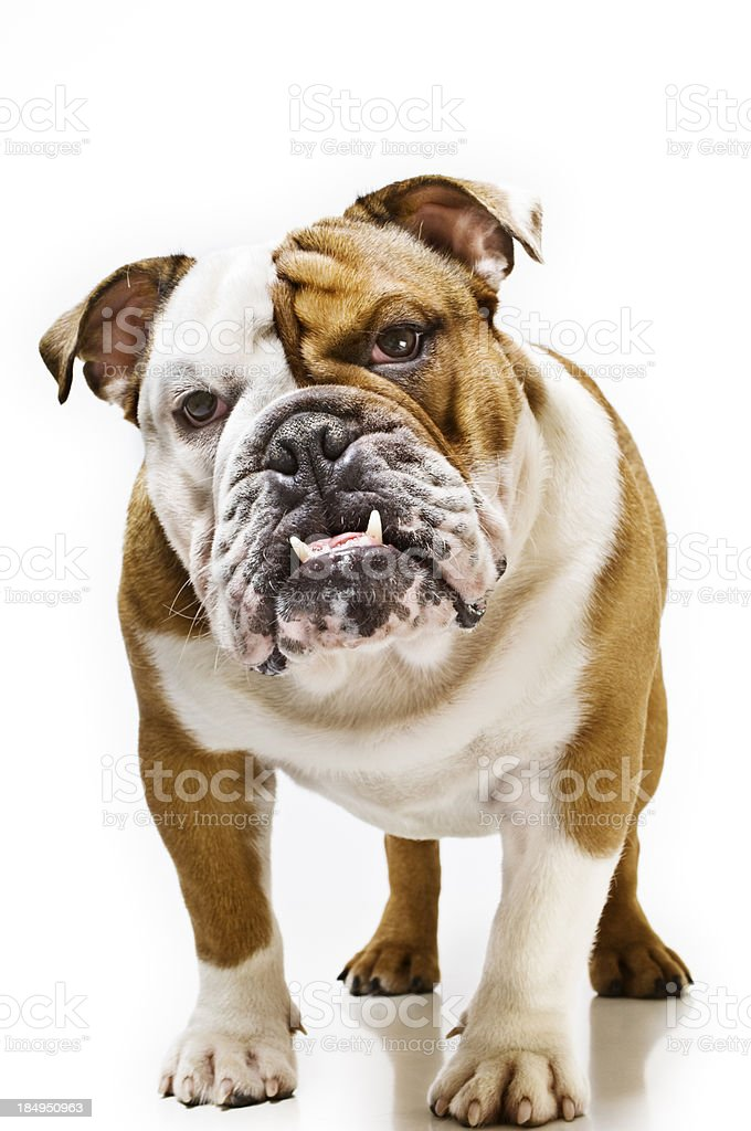 Portrait of British Bulldog White Background stock photo