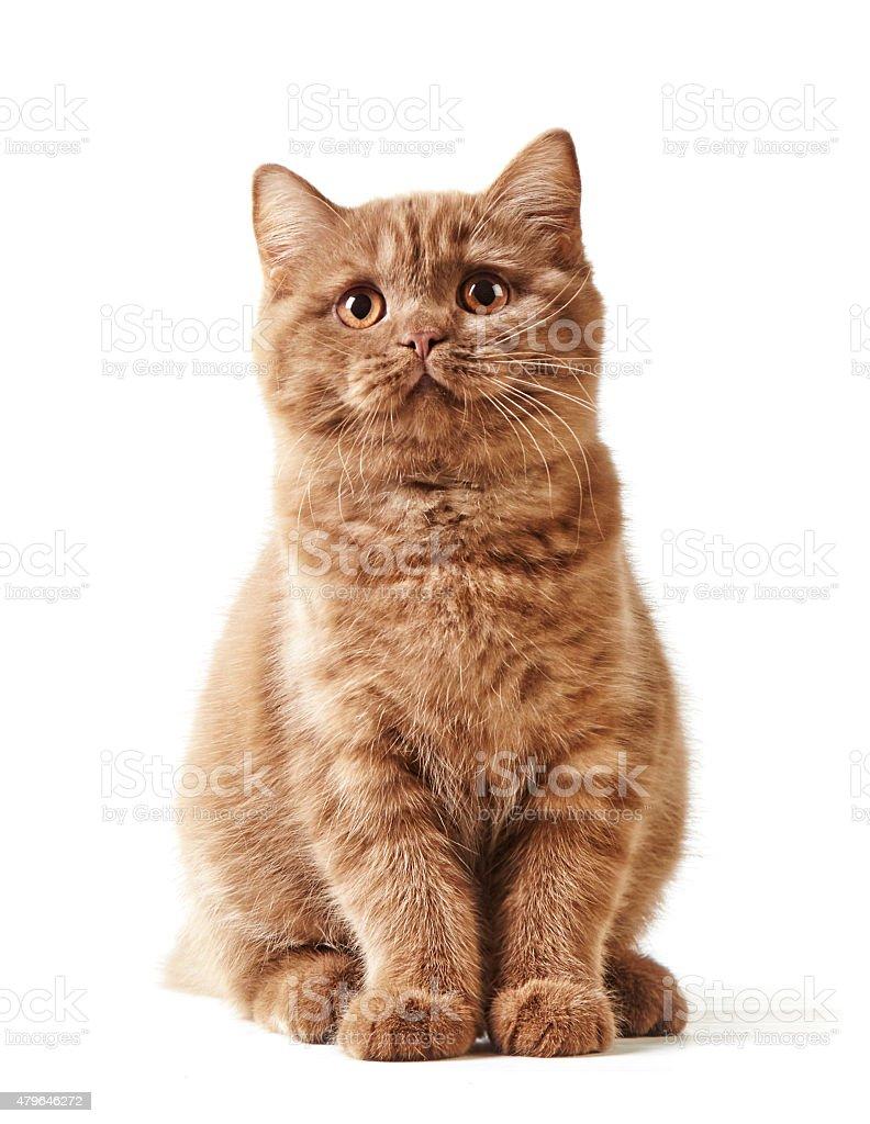 portrait of british kitten stock photo