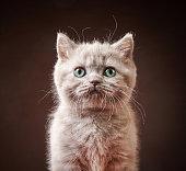 portrait of british kitten