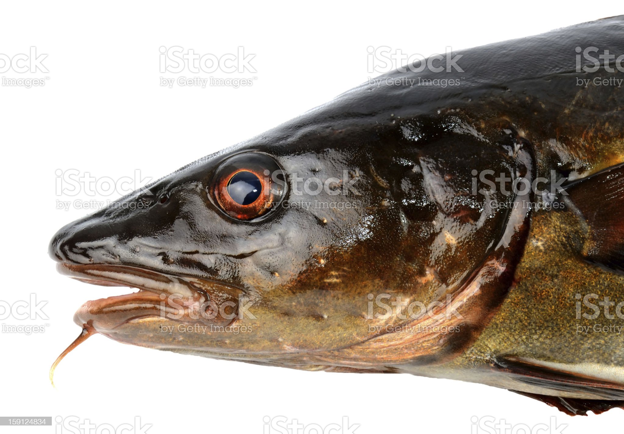 Portrait of brown cod royalty-free stock photo