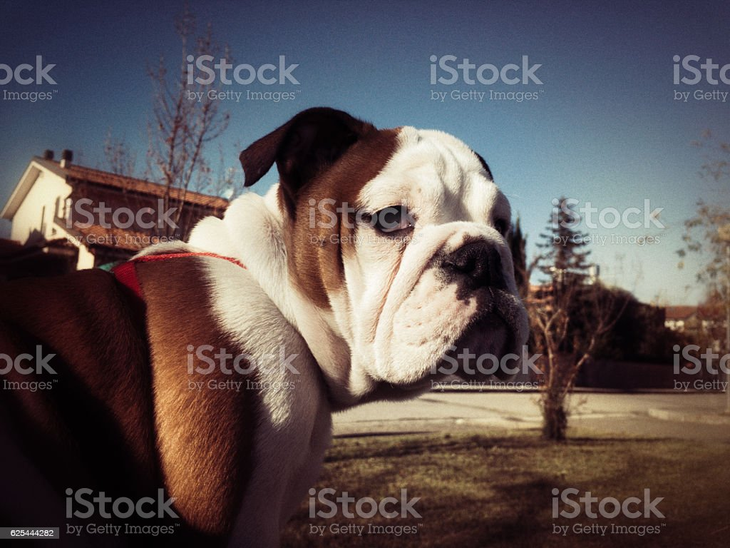 portrait of Bulldog outdoors with vintage instant camera effect stock photo