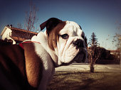 portrait of Bulldog outdoors with vintage instant camera effect