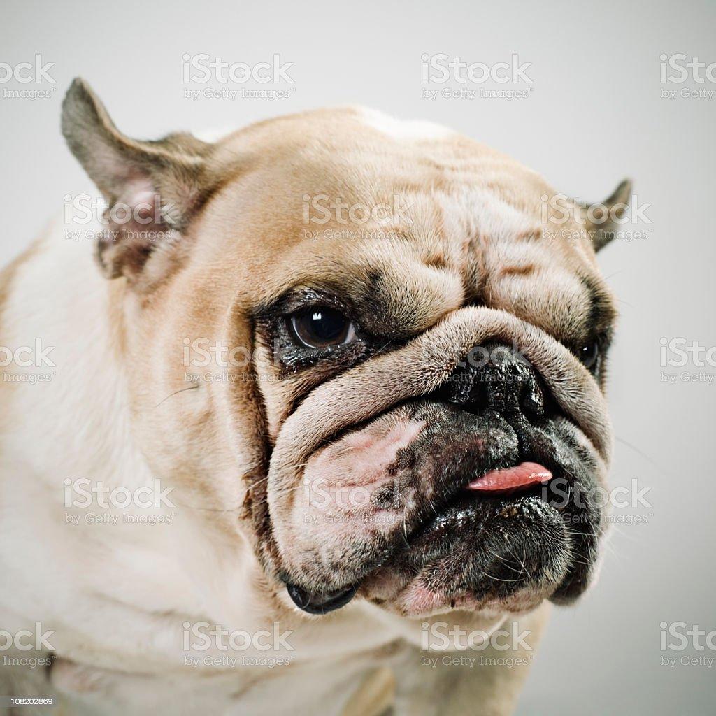 Portrait of Bulldog royalty-free stock photo