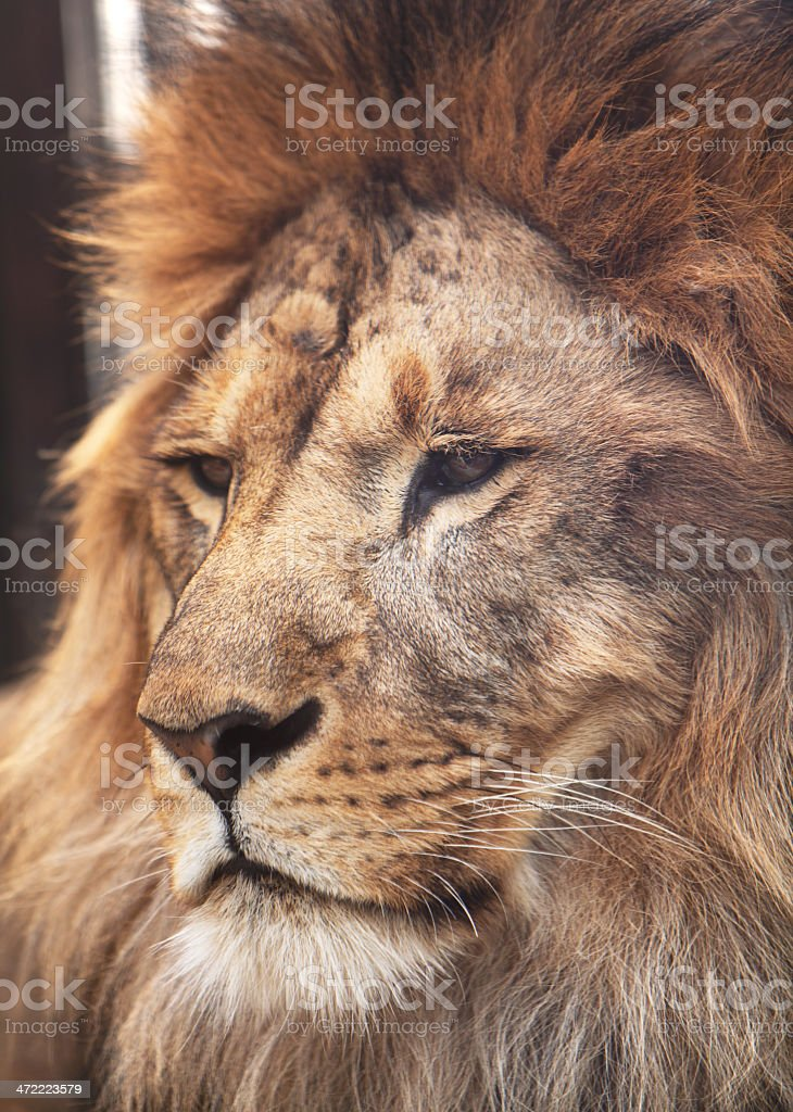Portrait of calm lion. Wildlife royalty-free stock photo