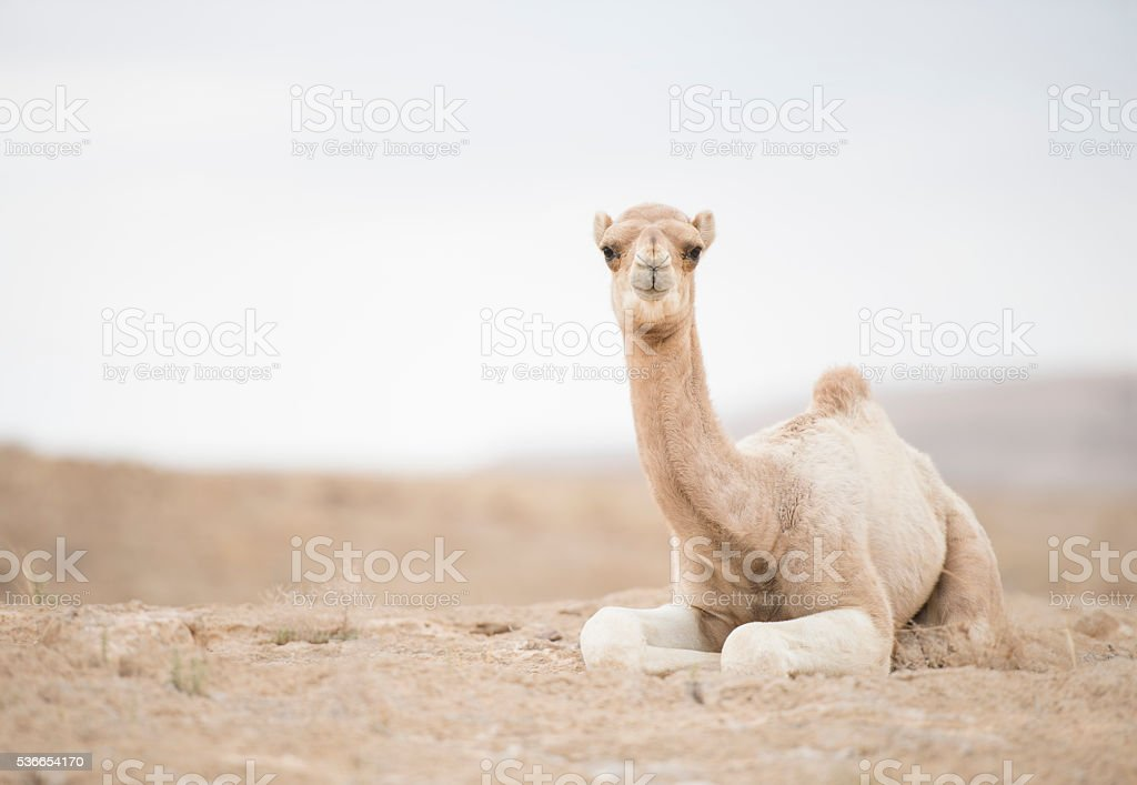 Portrait of camel calf. stock photo